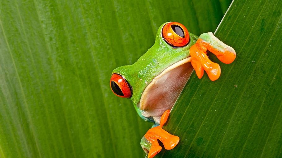 http://fotos.hellotrip.es/costa-rica/Costa_Rica_Monteverde_Parque_Natural_rana.jpg