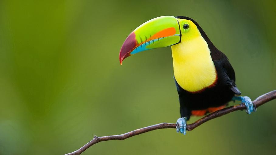 http://fotos.hellotrip.es/costa-rica/Costa_Rica_Tortuguero_Parque_Nacional_Braulio_Carrillo_tucan.jpg