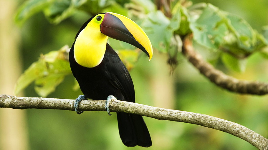 http://fotos.hellotrip.es/costa-rica/Costa_Rica_Tortuguero_Parque_Nacional_Braulio_Carrillo_tucan_2.jpg