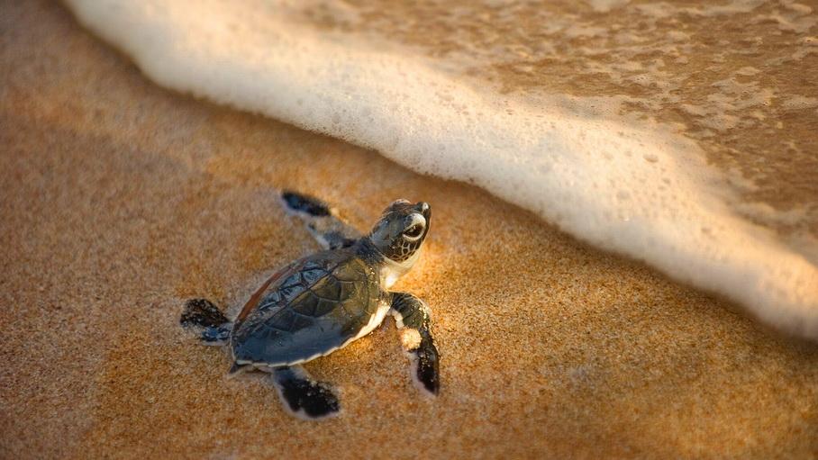 http://fotos.hellotrip.es/costa-rica/Costa_Rica_Tortuguero_Parque_Nacional_Braulio_tortuga.jpg