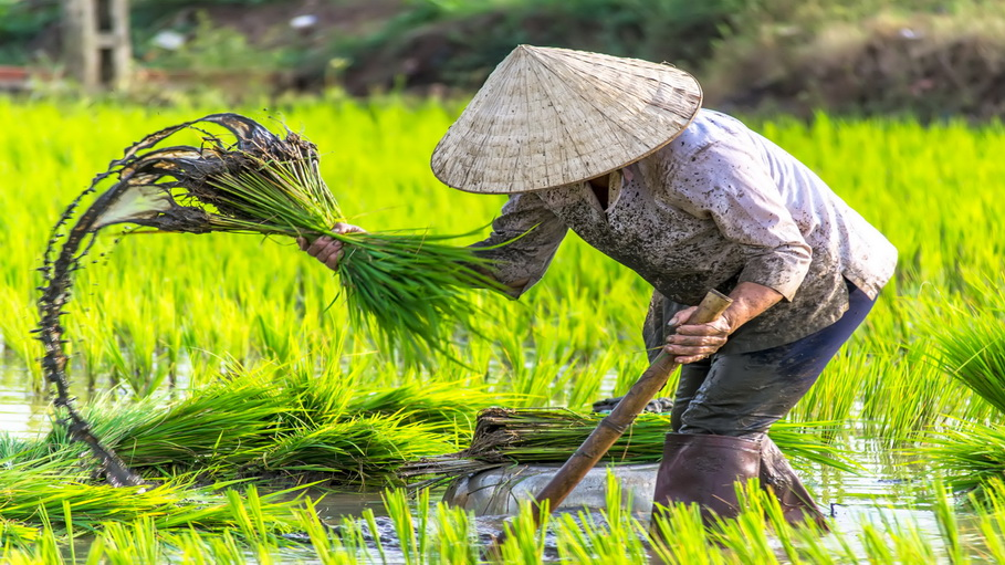 http://fotos.hellotrip.es/vietnam/Vietnam_Delta_Mekong_recoleccion_arroz.jpg
